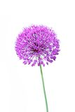 Beautiful blooming allium close up Royalty Free Stock Photo