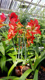 Beautiful blooming Amaryllis flowers. In hothouse . Sofia Botanical Garden stock images