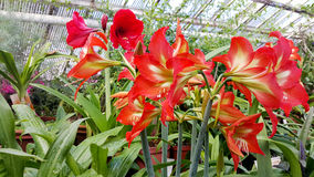 Beautiful blooming Amaryllis flowers. In hothouse . Sofia Botanical Garden stock photography