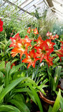 Beautiful blooming Amaryllis flowers. In hothouse . Sofia Botanical Garden royalty free stock photography