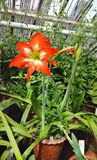 Beautiful blooming Amaryllis flowers. In hothouse . Sofia Botanical Garden royalty free stock photo