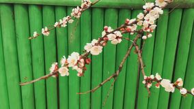 Beautiful blooming apple fruit tree against the background of a green fence, spring stock video footage