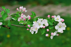 Beautiful blooming apple tree branch in spring time Stock Photos
