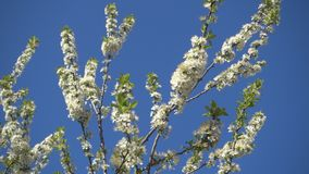 Beautiful blooming apple tree and clear blue sky. 4k qualitative video stock video footage