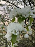 Beautiful blooming apple tree royalty free stock photos