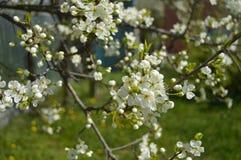 Beautiful blooming apple tree in spring garden stock photo