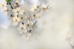 Beautiful blooming of apple tree in spring macro shot of flowers. Soft image of a blossoming tree Stock Photography