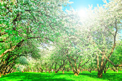 Beautiful blooming apple trees Royalty Free Stock Images