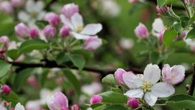 Beautiful Blooming Apple Trees in the Spring Garden. stock video