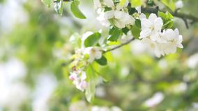 Beautiful blooming apple trees in spring park close up.  stock footage