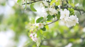 Beautiful blooming apple trees in spring park close up.  stock video footage