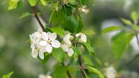 Beautiful blooming apple trees in spring park close up.  stock video