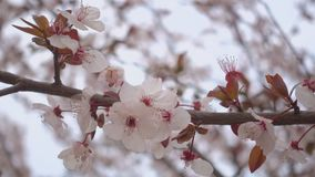 Beautiful blooming apricot, flowers on a branch. Beautiful blooming apricot, flowers on a branch stock footage