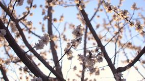 Beautiful blooming apricot tree against blue sky illuminated by the sun stock footage