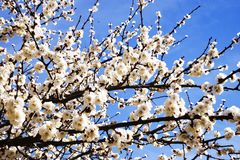 Beautiful blooming apricot tree over blue sky royalty free stock images