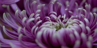 Beautiful blooming aster. Beautiful bright motley lilac aster, macro stock image