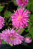 Beautiful blooming asters Royalty Free Stock Photos