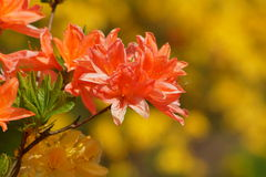 Beautiful blooming azaleas and rhododendrons in the garden Royalty Free Stock Image