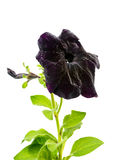 Beautiful blooming black petunia flower is isolated on white bac Stock Images
