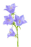Beautiful blooming bluebell flower is on white backgrou stock photography