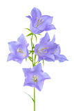 Beautiful blooming bluebell flower is  on white backgrou Stock Photos