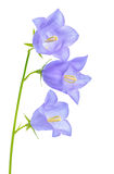 Beautiful blooming bluebell flower is  on white backgrou Stock Images