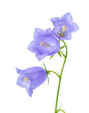 Beautiful blooming bluebell flower is  on white backgrou Stock Image