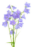 Beautiful blooming bouquet of bluebell flowers isolated on white Stock Image