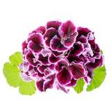 Beautiful blooming bouquet of velvet purple geranium flower with Stock Images