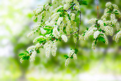 Beautiful blooming branch of bird cherry Stock Photos
