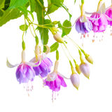 Beautiful blooming branch of gentle lilac fuchsia flower is isolated on white background, Stock Photo
