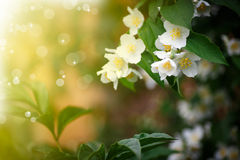 Beautiful blooming branch of jasmine outdoors Stock Image
