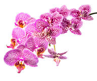 Beautiful blooming branch striped and spotted violet orchids Royalty Free Stock Photos