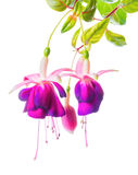 Beautiful blooming branch of violet fuchsia flower is isolated on white background Stock Photography