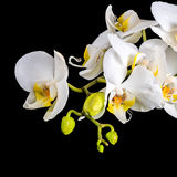 Beautiful blooming branch white orchid with dew, phalaenopsis on Royalty Free Stock Image