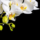Beautiful blooming branch white orchid with dew, phalaenopsis on Royalty Free Stock Photography