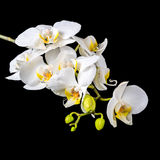 Beautiful blooming branch white orchid with dew, phalaenopsis on Stock Photography