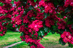 Beautiful blooming burgundy trees. Red flowers. Background. Royalty Free Stock Images