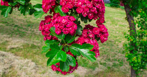 Beautiful blooming burgundy trees. Red flowers. Background. Royalty Free Stock Photos