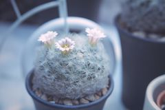 Blooming of cactus flower - cactus plant Royalty Free Stock Image