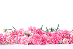 Beautiful blooming carnation flowers on a white background with Royalty Free Stock Photo
