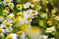Beautiful blooming chamomile shining in the sunlight. Medical herbs. Spring aroma Royalty Free Stock Image