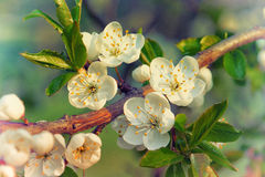 Beautiful blooming cherry branch Stock Photos