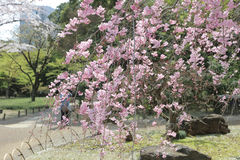 The beautiful blooming cherry tree royalty free stock photos