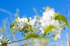 Blooming cherry trees on spring Stock Photos