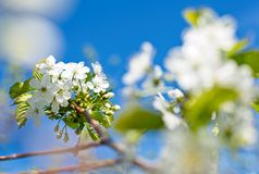 Blooming cherry trees on spring Stock Photography