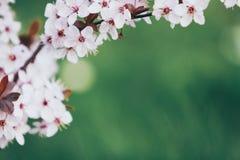 Beautiful blooming cherry tree branch stock image