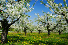 Beautiful blooming of cherry trees Royalty Free Stock Photo