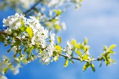 Blooming cherry trees on spring Royalty Free Stock Photos