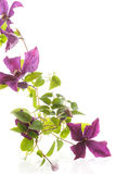 Beautiful blooming clematis Royalty Free Stock Image